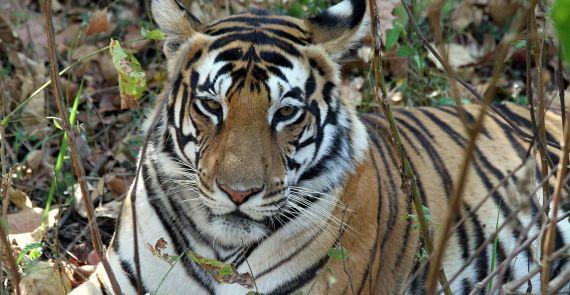tiger rejser